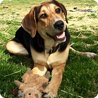 Adopt A Pet :: Bruin - Uxbridge, MA