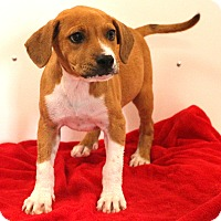 Adopt A Pet :: Buckwheat - Glastonbury, CT