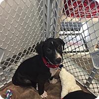 Adopt A Pet :: Blue - Houston, TX