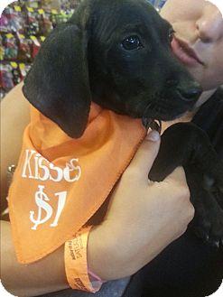 Plott Hound Mix Puppy for adoption in Riverview, Florida - Mowgli