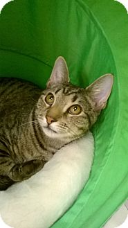 Domestic Shorthair Cat for adoption in Brea, California - BOO AND BOSCO