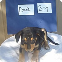Labrador Retriever Mix Puppy for adoption in Denver, Colorado - Duke