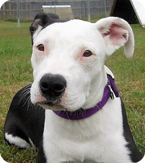 American Staffordshire Terrier Mix Dog for adoption in Siren, Wisconsin - Amethyst