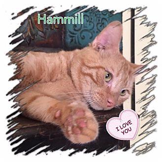 Domestic Shorthair Cat for adoption in Harrisburg, North Carolina - Hammill