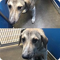 Adopt A Pet :: Cage 5 Anatolian mix - Greenville, TX