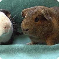 Guinea Pig for adoption in Steger, Illinois - Grandall