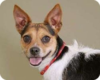 Jack Russell Terrier/Yorkie, Yorkshire Terrier Mix Dog for adoption in Sudbury, Massachusetts - Sweet Pea