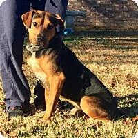 Adopt A Pet :: Gauge - Hendersonville, NC