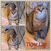 Adopt A Pet :: Tiger Lily - Surprise, AZ
