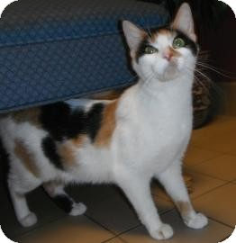 Calico Cat for adoption in Jackson, Michigan - Genie