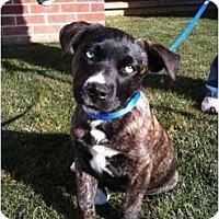 Adopt A Pet :: Azul - Arlington, TX