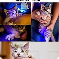 Adopt A Pet :: Deanna Troi NO FEE Glow Kitty - Fredericksburg, VA