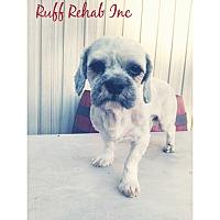 Adopt A Pet :: SHIH-TZU BOY - Pompton lakes, NJ