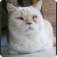 Adopt A Pet :: Snowball - Gilbert, AZ