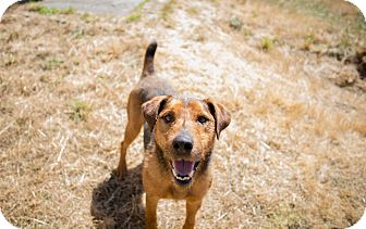 Jack Russell Terrier/Airedale Terrier Mix Dog for adoption in Portland, Oregon - Happy