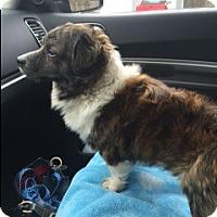 Adopt A Pet :: Oso - Bellingham, WA
