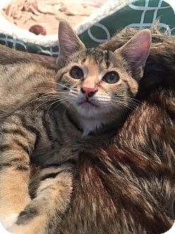 Domestic Shorthair Kitten for adoption in Burlington, North Carolina - AVA