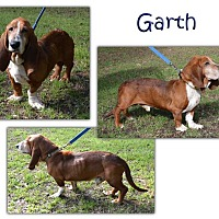 Basset Hound Dog for adoption in Marietta, Georgia - Garth