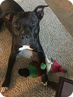 Labrador Retriever/Pit Bull Terrier Mix Dog for adoption in St Louis, Missouri - Patton