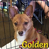 Adopt A Pet :: Golden - Phoenix, AZ