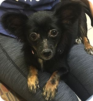 Chihuahua Mix Dog for adoption in Boca Raton, Florida - Layla