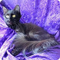 Domestic Mediumhair Cat for adoption in Montgomery City, Missouri - Morticia