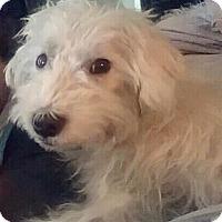 Maltese Mix Dog for adoption in Renton, Washington - Booboo
