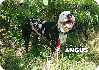 Pit Bull Terrier Mix Puppy for adoption in Newtown, Connecticut - Angus