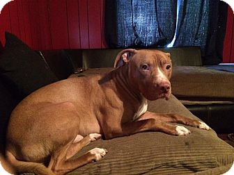 Pit Bull Terrier Mix Dog for adoption in Middletown, Ohio - Zeus