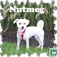 Lhasa Apso Mix Dog for adoption in Fallston, Maryland - Nutmeg