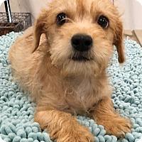 Adopt A Pet :: Kiki - Santa Ana, CA