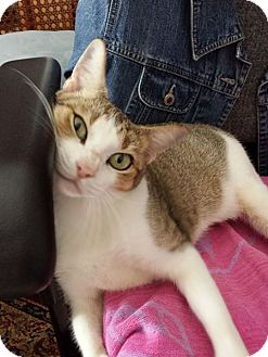 Domestic Shorthair Cat for adoption in Sugar Land, Texas - Princess Leia