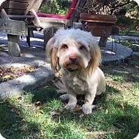 Adopt A Pet :: Iron Man - Pittsburg, CA