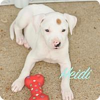 Boxer Mix Puppy for adoption in Colmar, Pennsylvania - Heidi