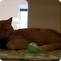 Domestic Shorthair Cat for adoption in Gloucester, Massachusetts - Pumkin