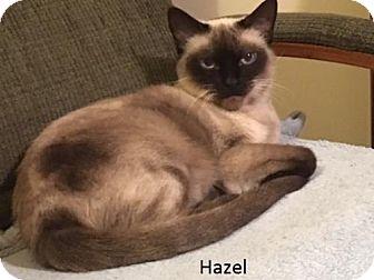 Siamese Cat for adoption in Pinckney, Michigan - Hazel & Henry