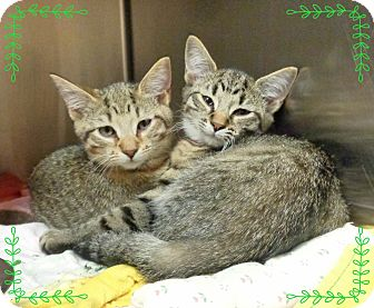 Domestic Shorthair Kitten for adoption in Marietta, Georgia - DANA&DONNA-available 12/02