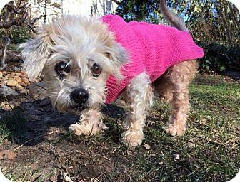 Maltese Mix Dog for adoption in New York, New York - Eloise