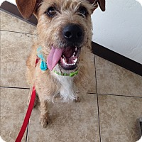 Adopt A Pet :: Tiny Tim - Phoenix, AZ