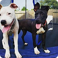 Adopt A Pet :: Harley - Spring, TX