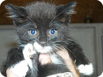 Domestic Mediumhair Kitten for adoption in Island Park, New York - Tuxie