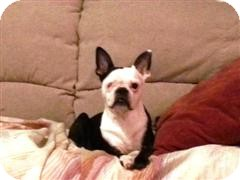 Boston Terrier Dog for adoption in Northumberland, Ontario - Daisey