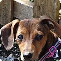 Adopt A Pet :: MILLIE - Portland, OR