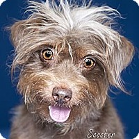 Adopt A Pet :: Scooter - Rancho Mirage, CA