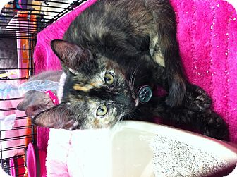 Domestic Shorthair Cat for adoption in Long Beach, California - Ivy