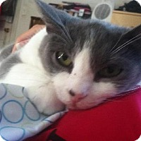 Adopt A Pet :: Link - Fredericksburg, VA