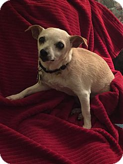 Chihuahua Mix Dog for adoption in Toronto, Ontario - Annabelle 2054