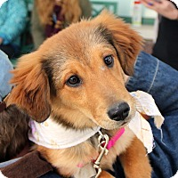 Adopt A Pet :: Ginger - Richmond, VA