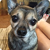 Adopt A Pet :: Coco URGENT - Harrisonburg, VA