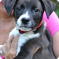 Adopt A Pet :: Maysie - Enfield, CT